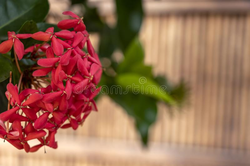 Bright pink cute Color Ixora flowers or jungle geranium or flame jungle woods royalty free stock photos