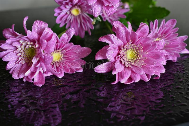 Bright Pink Daisy. A close up image of a single bright pink daisy covered in dew drops royalty free stock image