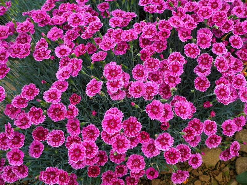 Bright pink dianthus flowers pinks variety gold speck stock photo download bright pink dianthus flowers pinks variety gold speck stock photo image of colour mightylinksfo