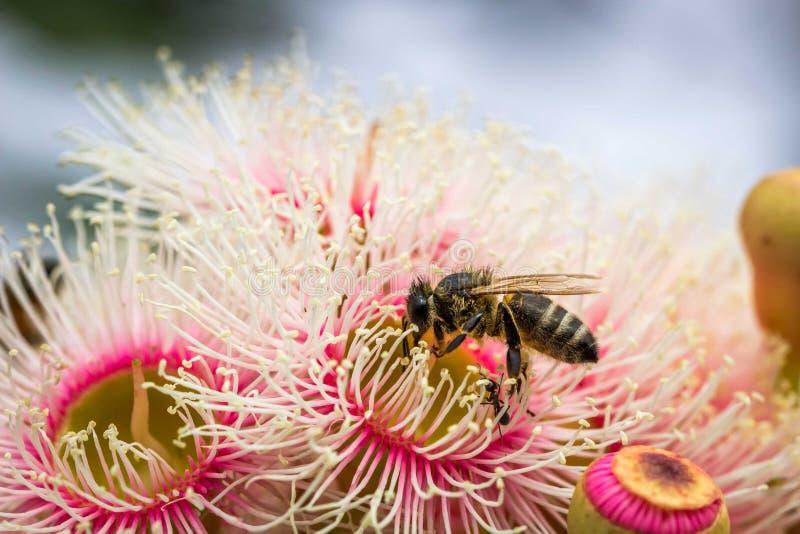 European Honey Bee Feeding on Bright Pink Eucalyptus Flowers, Sunbury, Victoria, Australia, October 2017. Bright Pink Eucalyptus Flowers, Sunbury, Victoria stock photography