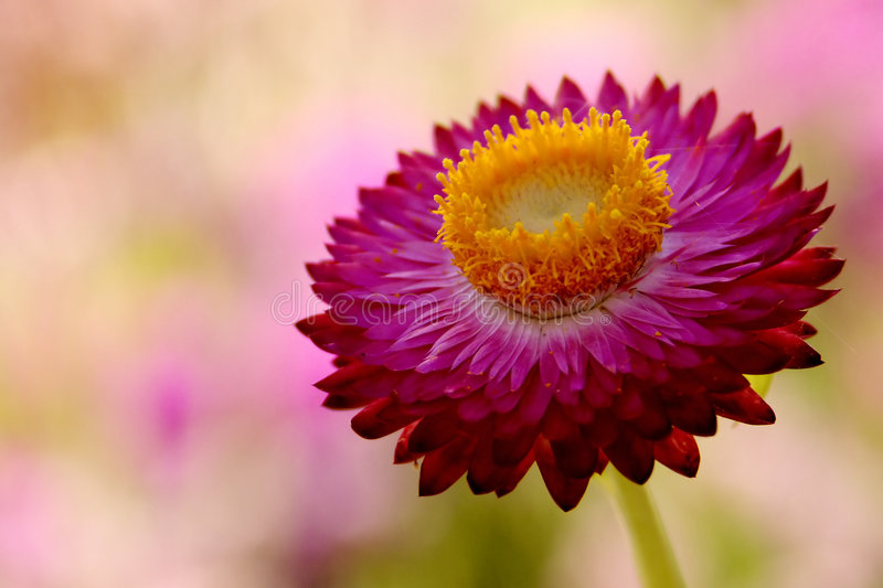 Bright Pink Flower stock photography