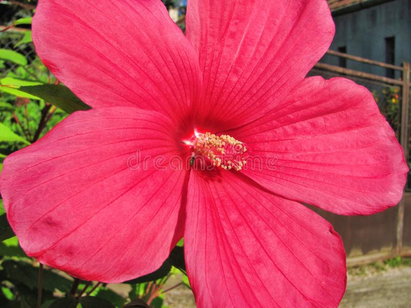 Bright pink flower in Hungary. Bright pink flower Bright pink flower Bright pink flower royalty free stock image