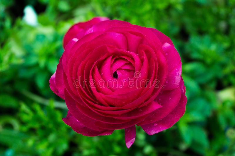 A bright pink flower is contrasted against the green bush beyond it. A bright pink flower is contrasted with the green plant it grows from, rain drop dust the royalty free stock image