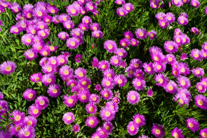 Download Bright Pink Flower On Creeping Succulent Plant Stock Photo - Image: 19734318