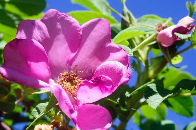 Bright pink flower of a dogrose, selective focus. Macro royalty free stock photography