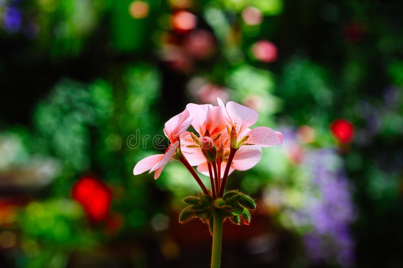Bright pink flower and leaves of geranium on a colorful background of nature. Blurred and bright background. Bright pink flower and leaves of geranium on a stock photography