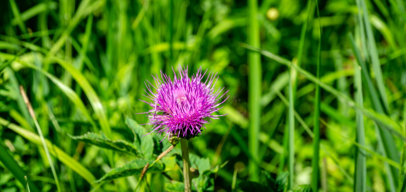 Bright pink flower of melancholy thistle or Cirsium helenioides on blurred green natural background. Nice theme for any design, Selective focus royalty free stock photos