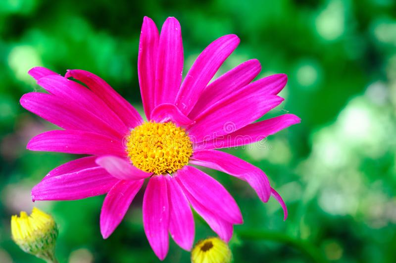 Bright pink flower of pyrethrum in the summer garden. Shallow depth of field royalty free stock photo