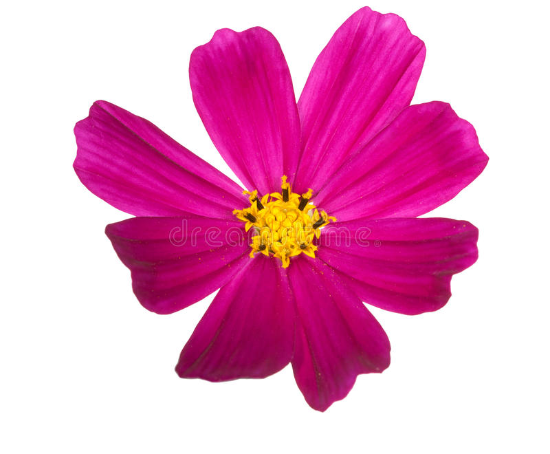 Bright pink flower with yellow center stock photo image of close download bright pink flower with yellow center stock photo image of close beautiful mightylinksfo Image collections