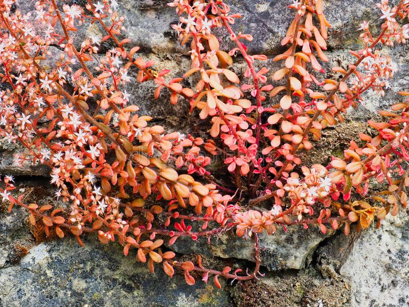 Bright Pink Flowering Succulent Shrub on Old Stone Wall. A small bright pink red flowering shrub growing from the side of an old stone garden retaining wall royalty free stock photos