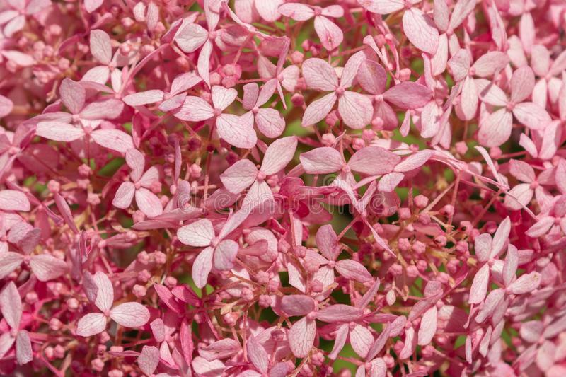 Bright pink flowers background.Beautiful petals of hydrangea flowers.Concept scenery, decoration for wallpaper, texture, pattern. stock image