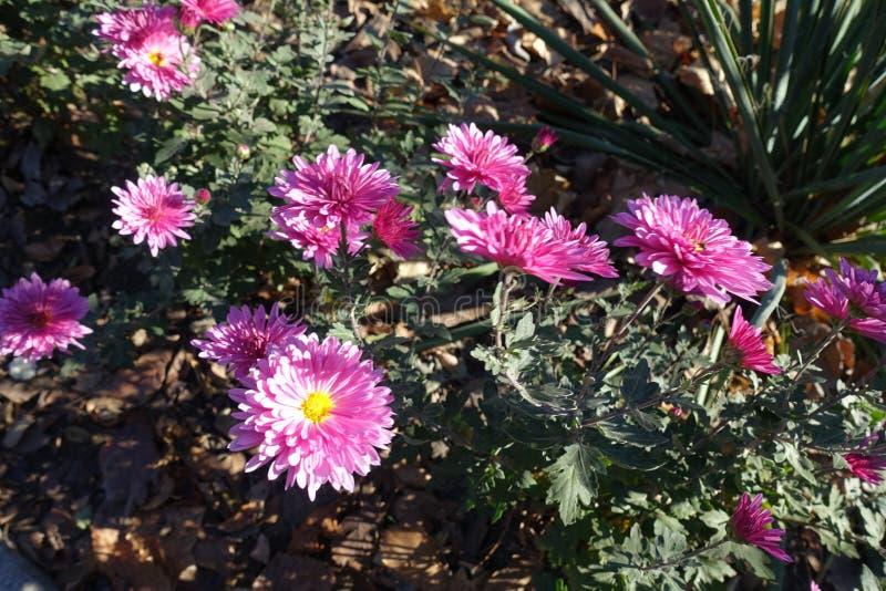Bright pink flowers of Chrysanthemum in November. Bright pink flowers of Chrysanthemums in November royalty free stock image