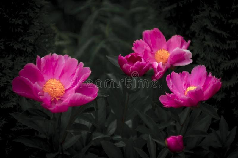 Bright pink flowers and dark background stock photo