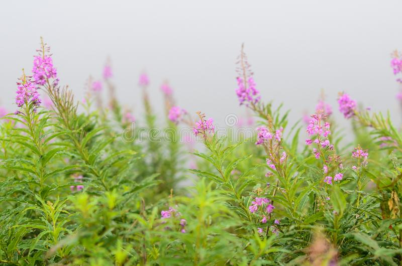 Bright pink flowers in the fog. Close up bright pink summer flowers and green grass in the fog stock photo