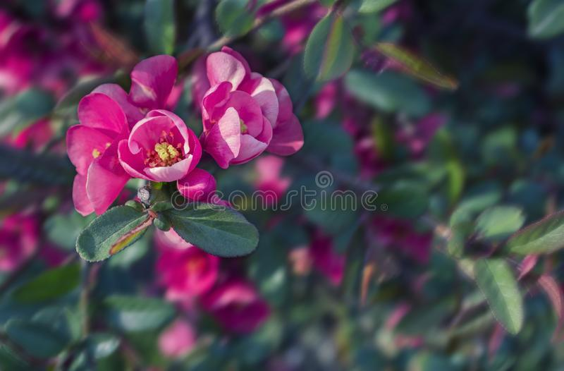 Bright pink flowers of japanese quince and laves on a blurred dark green background. kdrop. Bright pink flowers of japanese quince and laves on a blurred dark stock photo