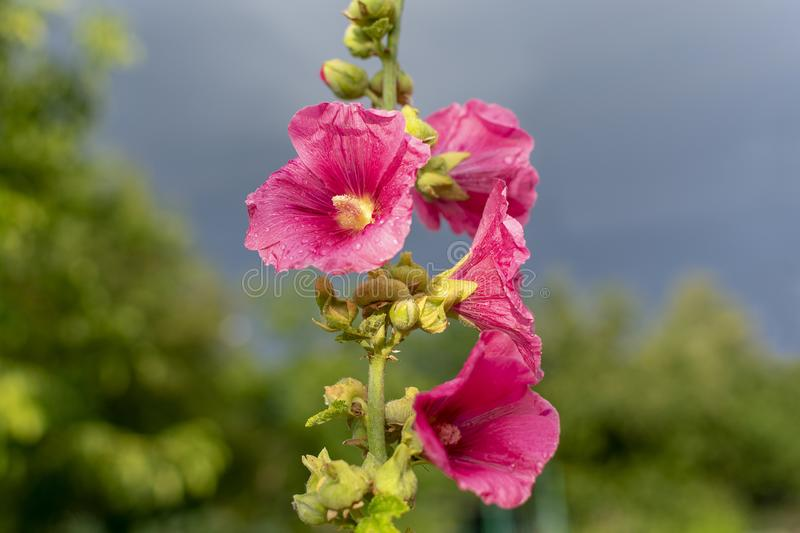 Bright pink flowers. After the rain against the backdrop of a stormy sky in the summer evening stock image