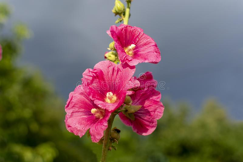 Bright pink flowers. After the rain against the backdrop of a stormy sky in the summer evening stock photo