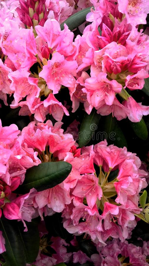 Bright pink flowers after rain. Bright, pink, brightpink, flowers, pinkflowers, brightpinkflowers, nature, pinkandredflowers royalty free stock photography