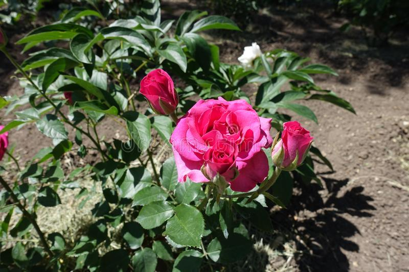 Bright pink flowers of rose. In the garden royalty free stock photo