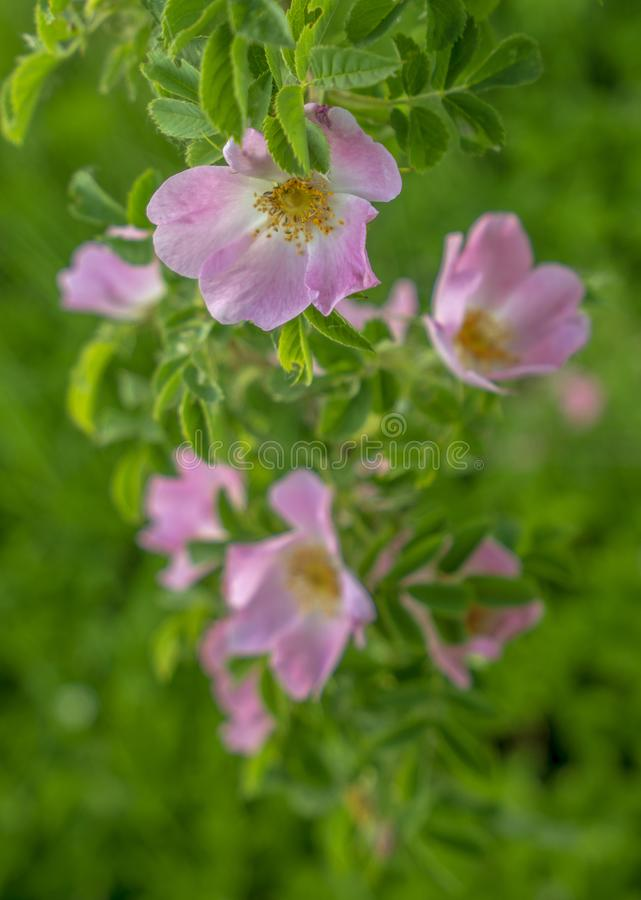 Bright pink flowers of wild rose on the background of green leaves.  royalty free stock photos