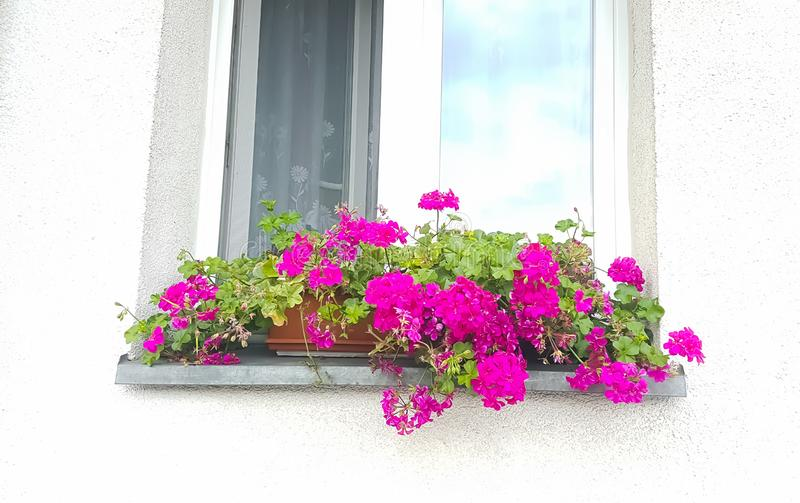 Bright pink flowers on a window of a house. Purple, colour, colourful, white, wall, sunny, sky stock images