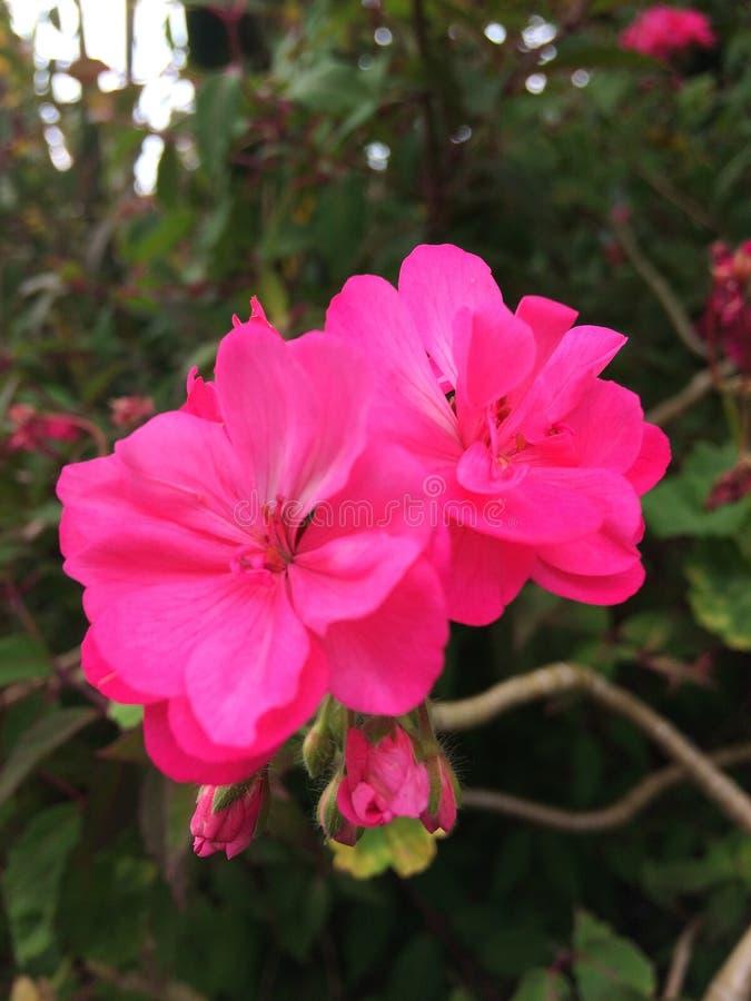 Bright pink geranium flowers. Geranium. Inflorescences stock photo