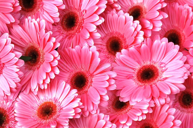 Bright Pink Gerbera Daisies royalty free stock photo