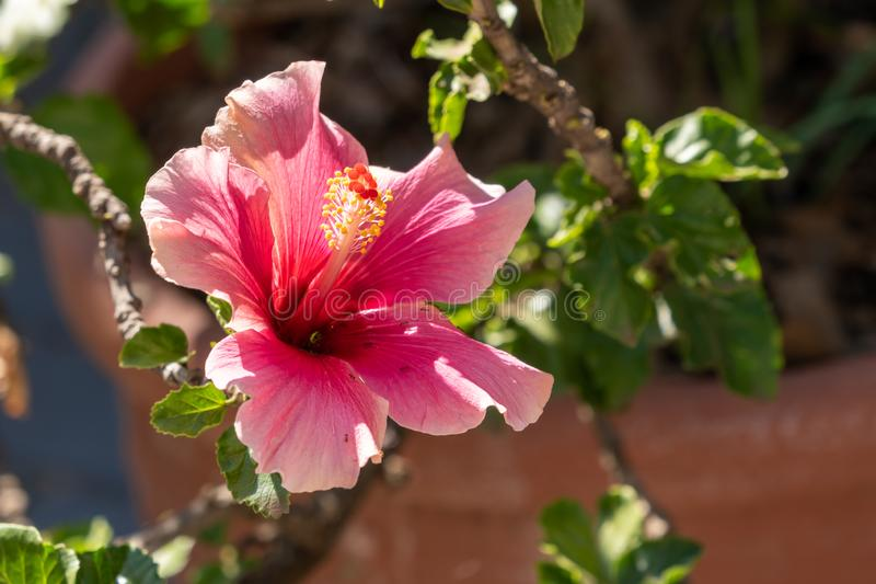 A bright pink hibiscus flower. Flowers, nature, botanical, botany, clorful, color, colorful, colour, colourful, flora, floral, gardens, petals, plant, plants royalty free stock images