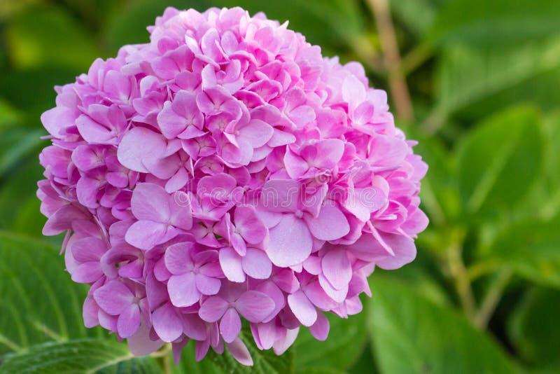 Bright pink hydrangea blossom. Bright pink hydrangea blossom on a beautiful sunny spring day stock photo