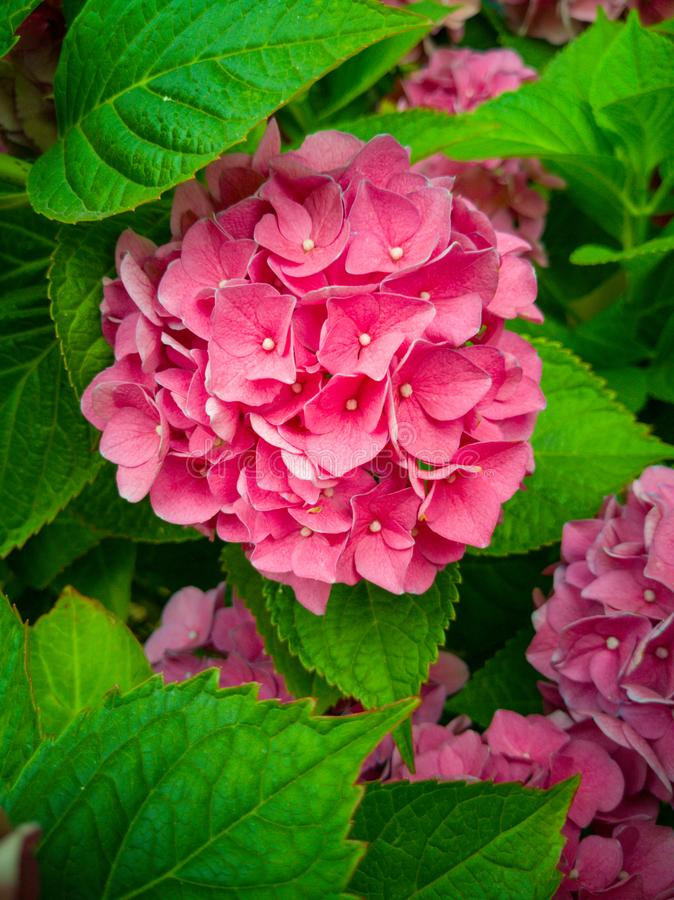 Bright pink hydrangea flower in a sea of ​​leaves. Bright pink hydrangea flower in a  of ​​leaves. Nature, blossom stock photography
