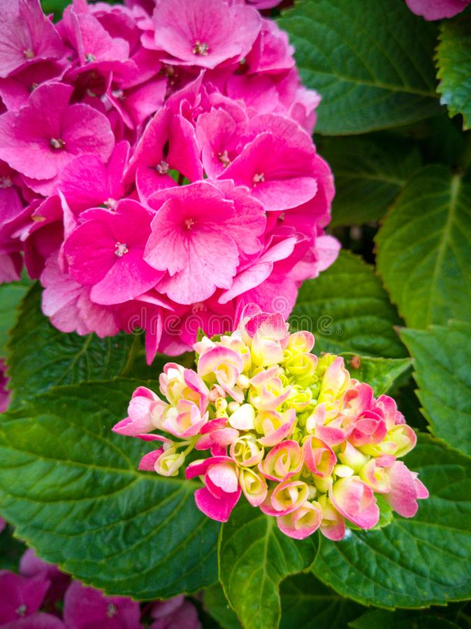 Bright pink hydrangea flowers in a sea of ​​leaves. Bright pink hydrangea flowers in a  of ​​leaves. Nature, blossom royalty free stock photo