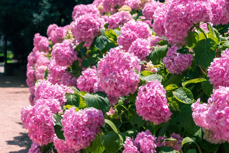 Bright pink hydrangeas. In the summer garden royalty free stock photography