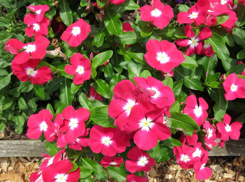 Bright Pink Impatiens in the Garden in July royalty free stock photography