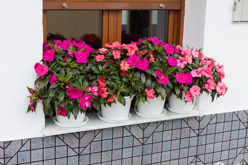 Bright pink impatiens hawkeri, the New Guinea impatiens, in flower pots royalty free stock photo