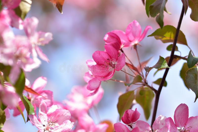Bright pink inflorescence of spring flowers of a fruit tree - garden decorative apple-tree. With pastel bokeh royalty free stock photo