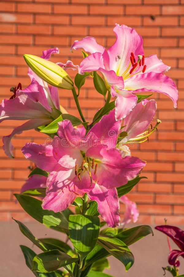 Bright pink lilies. Beautiful bright pink lilies on a brick wall background stock image