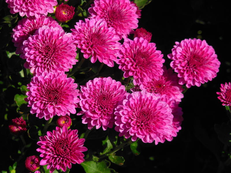 Bright pink Mums. A bunch of bright pink mum flowers royalty free stock images