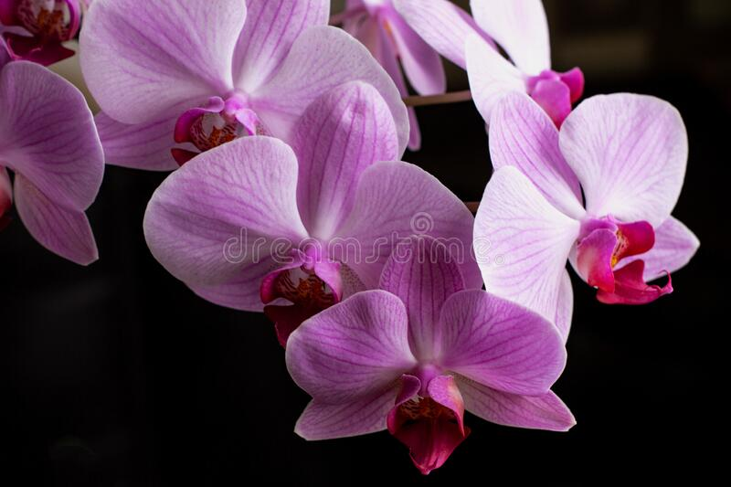 Bright pink orchids on a black background. Gorgeous pink and white orchids isolated on a black background. Phalaenopsis. Colorful. Pink orchid on a black royalty free stock photos