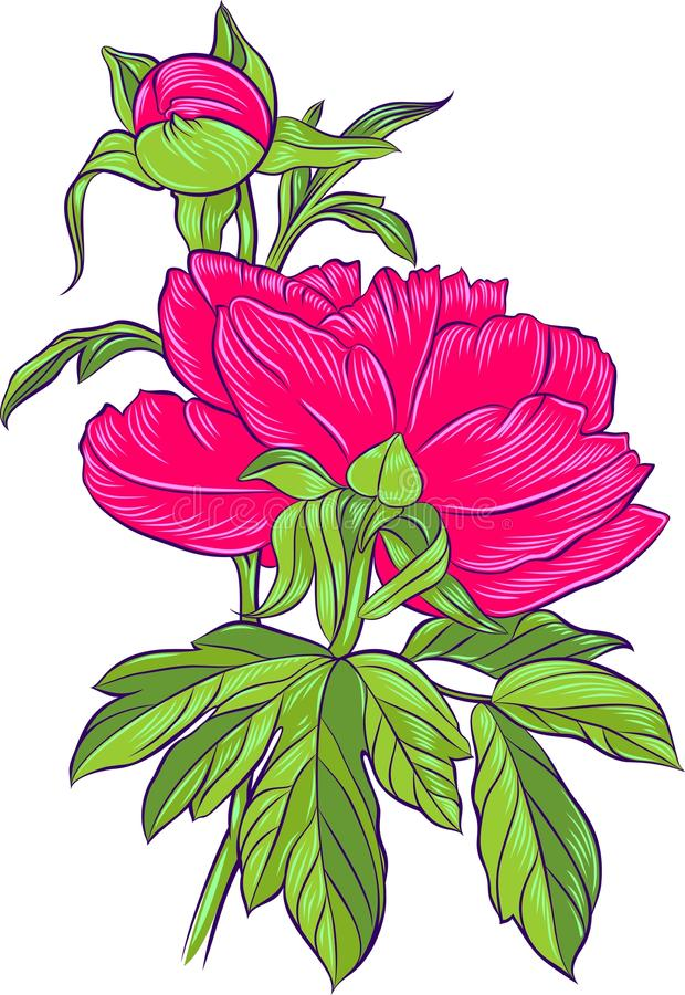 Download Bright pink peony stock vector. Illustration of nature - 24518890