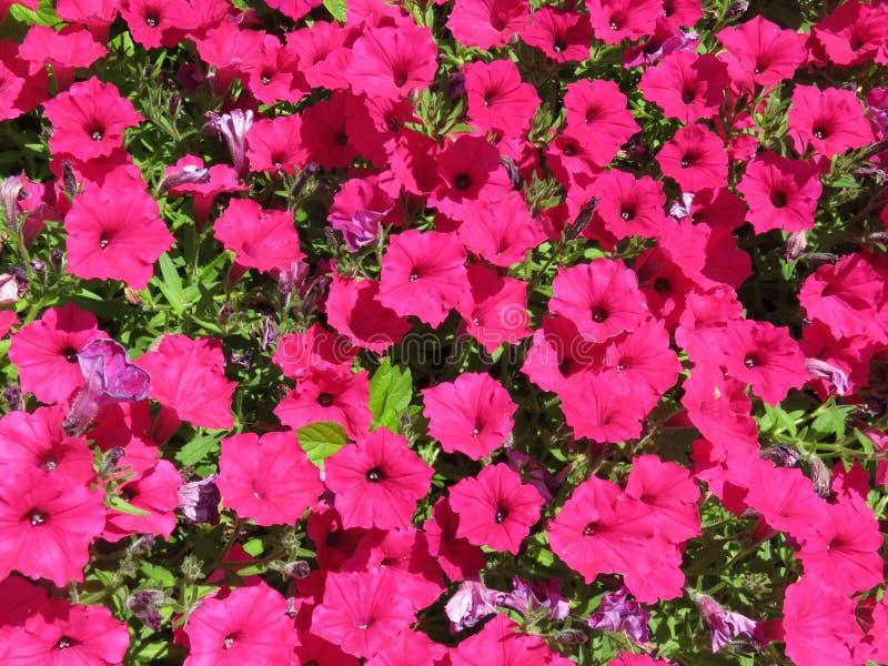 Bright Pink Petunias in a Summer Garden stock photo