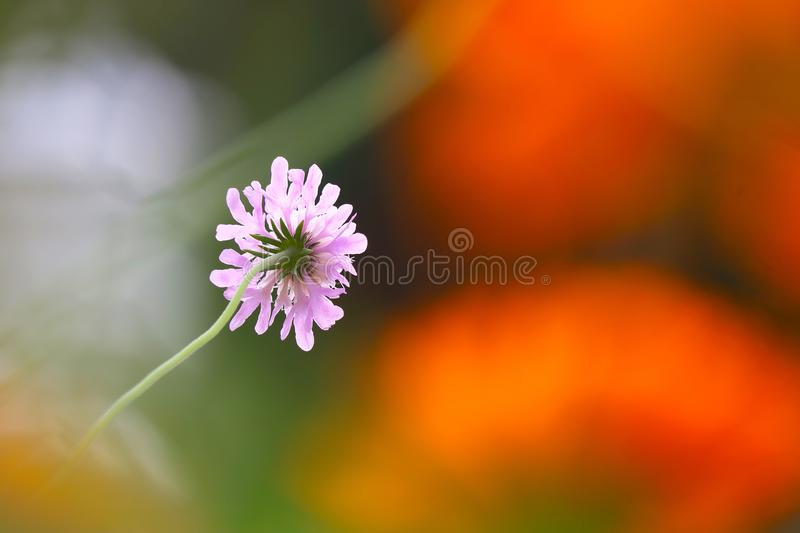 Bright pink pincushion flower in the sun in front of blurry orange colored pot marigold blossoms stock image