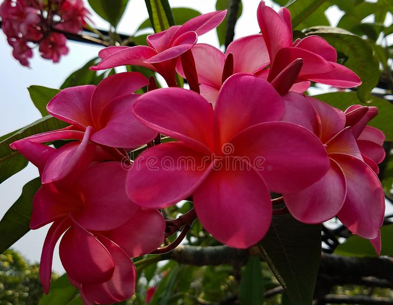 Bright Pink Plumeria Flowers on a Tall Tree royalty free stock photo