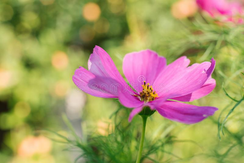 A bright pink purple cosme flowe. R grows in a summer garden stock photo