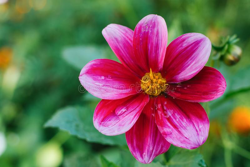 A bright pink purple dahlia flower. Grows in a summer garden. Copy space royalty free stock photo