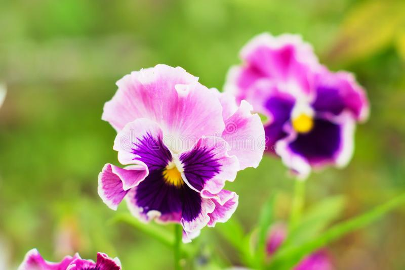 Bright pink and purple pansies. Natural floral background stock image