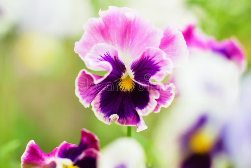 Bright pink and purple pansies. Natural floral background royalty free stock photo