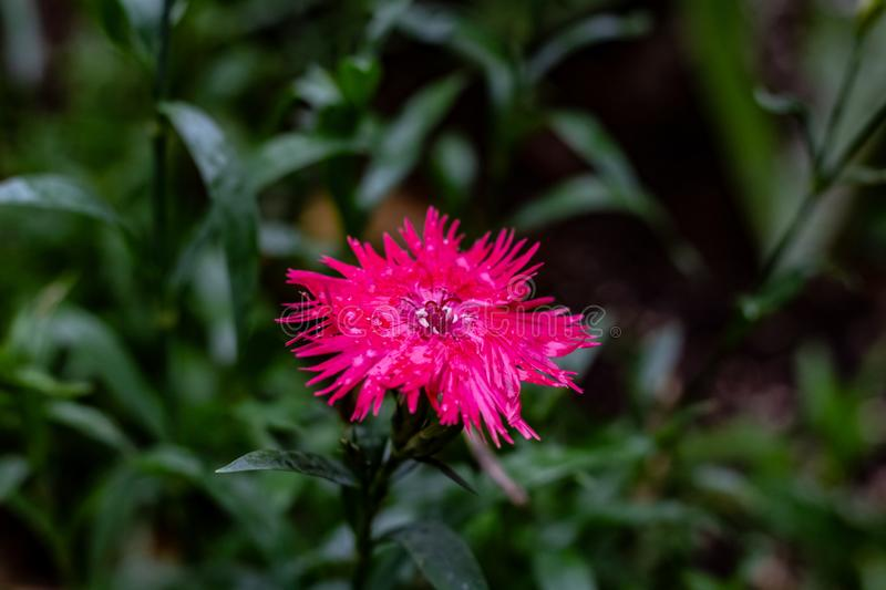 A bright pink raggy looking flower on a cold autmn day in Toronto Ontario royalty free stock photos
