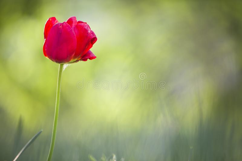 Bright pink red tulip flower blooming on high stem on blurred green copy space background. Beauty and harmony of nature concept.  stock image