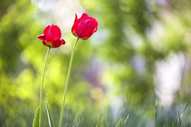 Bright pink red tulip flowers blooming on high stem on blurred green copy space background. Beauty and harmony of nature concept royalty free stock photography
