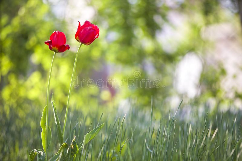Bright pink red tulip flowers blooming on high stem on blurred green copy space background. Beauty and harmony of nature concept.  royalty free stock photography